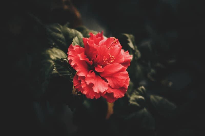 Quels sont les bienfaits de la fleur de capucine sur les cheveux ? 1